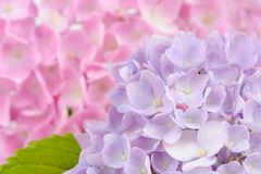 Beautiful Purple and Pink Hydrangea Flowers Stock Photo