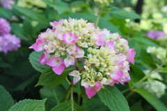 Beautiful purple pink hydrangea just starting to bloom against background of blurred green leaves. A Beautiful purple pink hydrangea just starting to bloom Royalty Free Stock Photos