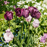Beautiful purple and pink tulips in garden tilt-shift Royalty Free Stock Photos