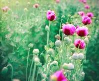 Beautiful purple poppy flowers Royalty Free Stock Photography