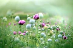 Beautiful purple poppy flowers Stock Photography