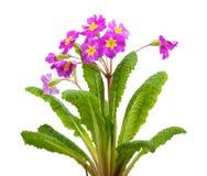Beautiful purple primrose Stock Photos