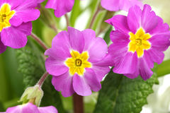 Beautiful purple primrose Royalty Free Stock Images