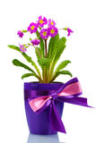 Beautiful purple primrose in a flowerpot Royalty Free Stock Image