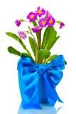Beautiful purple primrose in a flowerpot Royalty Free Stock Photography