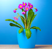 Beautiful purple primrose in a flowerpot Royalty Free Stock Photo