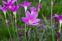 Beautiful purple rain lily flowers Royalty Free Stock Photos