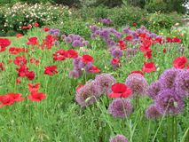 Gorgeous Purple & Red Poppy Flowers & Purple Flowers blossom In Queen Elizabeth Park Garden Summer 2018 royalty free stock photos
