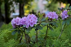 Purple Rhododendrons blooming in public park royalty free stock image