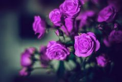 Beautiful purple rose. In a black background Royalty Free Stock Photo