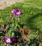 Beautiful purple rose in bloom. Shallow depth of field, selective focus stock photos
