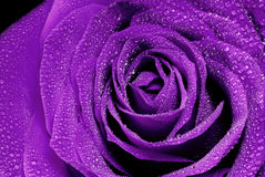 Beautiful purple rose Stock Photos