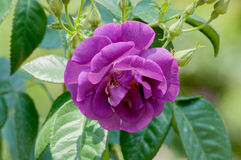 Beautiful purple rose in garden Royalty Free Stock Image