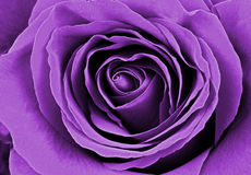 Beautiful purple rose. Macro image Royalty Free Stock Images