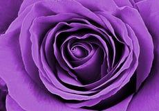 Beautiful purple rose. Macro image Royalty Free Stock Images