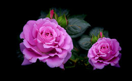 Beautiful purple roses in garden. Pair of gorgeous purple roses in a tropical garden stock photos
