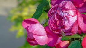 Beautiful purple roses. Lovely beautiful purple roses in the garden royalty free stock photography