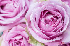 Beautiful purple roses. Macro purple roses flower with water drops royalty free stock photography