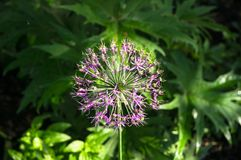 Beautiful purple spherical inflorescence of Decorative Onion, named also Allium, on the blurred background of lush foliage. Royalty Free Stock Image