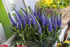 Beautiful Purple Spiked Speedwell Stock Image