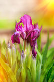 Beautiful Purple Spring Iris Flowers Royalty Free Stock Image