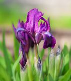 Beautiful Purple Spring Iris Flowers