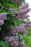 Purple spring lilacs Stock Images