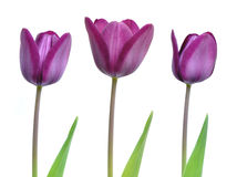 Beautiful purple spring tulips freshly opened. Trio of purple tulips opening their flowers in early spring royalty free stock images