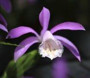 Beautiful purple Taiwan Pleione Stock Photos