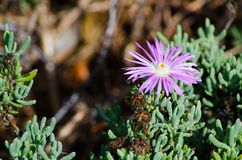 Beautiful purple Trailing Ice Plant flower Lampranthus spectabilis in a spring season at a botanical garden. A Beautiful purple Trailing Ice Plant flower stock photo