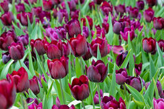 Beautiful purple tulip Stock Photos