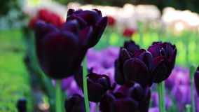 Beautiful purple tulip background. Changing focus stock footage