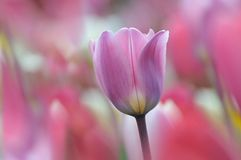 Beautiful purple tulip in spring Stock Photography