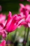Beautiful purple tulip Stock Photography