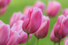Beautiful purple tulip Royalty Free Stock Photo