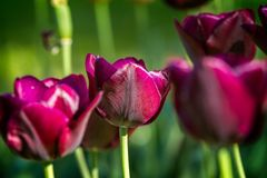 Beautiful purple tulip in spring Royalty Free Stock Photography