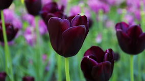 Beautiful purple tulips. stock video footage