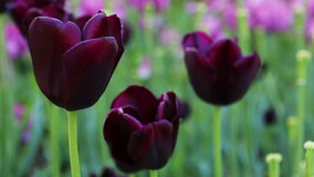 Beautiful purple tulips. stock video