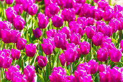Beautiful purple tulips close-up view during day Stock Images