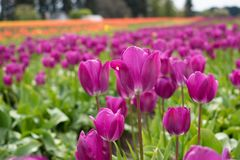 Beautiful purple tulips. Beautiful garden with purple tulips Stock Photo