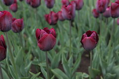 Beautiful purple tulips. Garden of purple tulips in line Royalty Free Stock Photo
