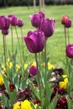 Beautiful purple tulips. Garden of purple tulips in line Stock Images