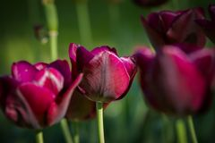 Beautiful purple tulips in the garden at springtime Stock Photos