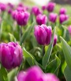 Beautiful purple tulips in nature. Beautiful purple tulips in a park in nature Royalty Free Stock Image
