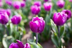 Beautiful purple tulips in nature. Beautiful purple tulips in a park in nature Royalty Free Stock Images