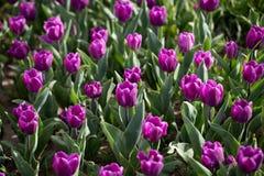 Beautiful purple tulips in nature. Beautiful purple tulips in a park in nature Stock Photos