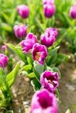 Beautiful purple tulips in nature. Beautiful purple tulips in a park in nature Stock Images