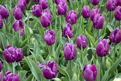 Beautiful purple tulips in the park royalty free stock photography
