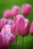 Beautiful purple tulips Royalty Free Stock Photography