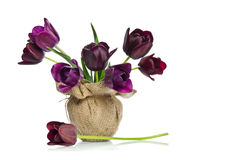 Beautiful purple tulips in a vase. Decorated in burlap isolated on a white background Royalty Free Stock Image